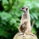 Meerkat No.3 by Erin Davis