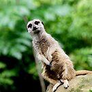 Meerkat No.5 by Erin Davis