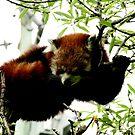 Red Panda No.1 by Erin Davis
