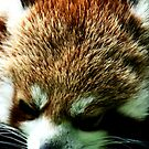 Red Panda No.3 by Erin Davis