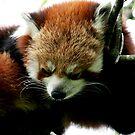 Red Panda No.5 by Erin Davis