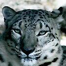 Snow Leopard No.9 by Erin Davis