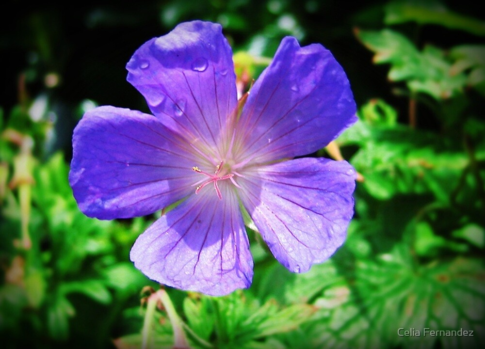 Blue Geranium  by chelo