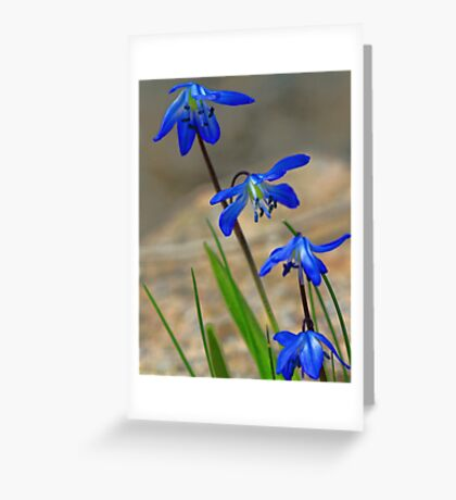 Blue Spring Beauty - Bridgton,  Maine Greeting Card