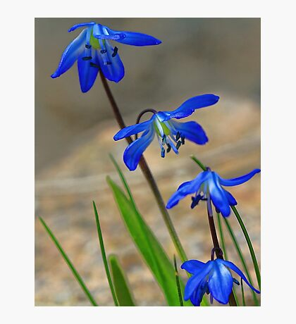 Blue Spring Beauty - Bridgton,  Maine Photographic Print