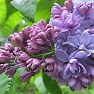 The Beauty of a Lilac by Pat Yager