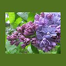 Lavender Lilac Throw Pillow by Pat Yager