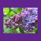Lavender Lilac Throw Pillow (Purple Border) by Pat Yager