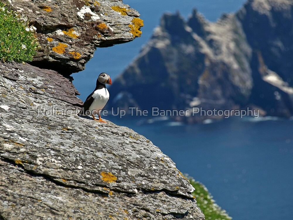Puffin Skellig Island, Ireland by Noel Moore Up The Banner Photography