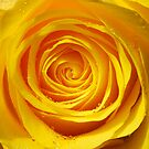Yellow Rose by David Carton
