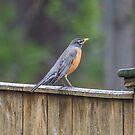 American Robin by CarolColaianni