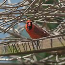 Male Northern Cardinal by CarolColaianni
