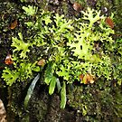 Ribbon Fern, Moss and Lichen, Cradle Mountain, Tasmania, Australia. by kaysharp