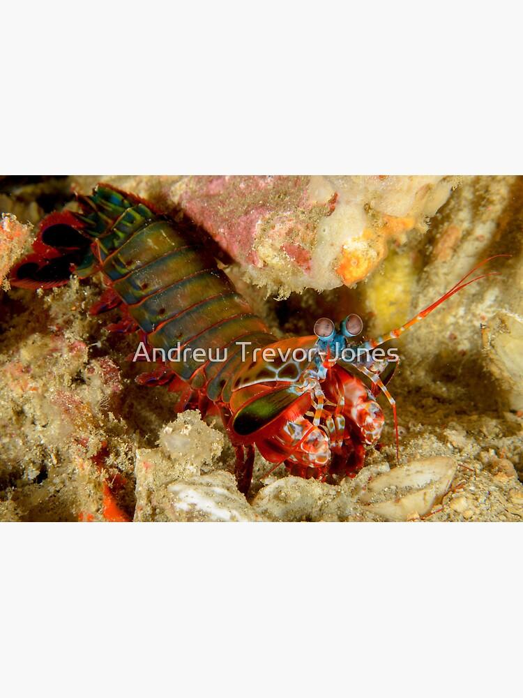 Peacock Mantis Shrimp - Odontodactylus scyllarus by andrewtj