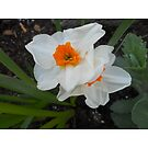 Daffodil Pillow Orange & White by Terry Krysak