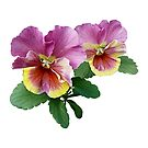 Pale Magenta and Yellow Pansies by Susan Savad