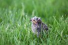 Baby RedWing Blackbird by Lynda   McDonald