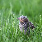 Baby RedWing Blackbird by Lynda   McDonald