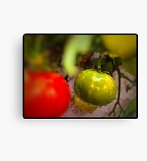 One Green Tomato Canvas Print