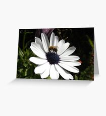 Bee on Osteospernum Daisy Greeting Card