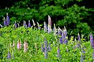 Lupins V by Kathleen Daley