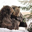 Grizzly Play by Tracy Friesen