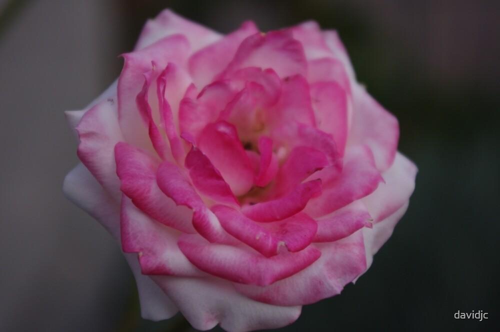 Miniature Rose by davidjc