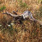 Old Pine Stump by jean-louis bouzou