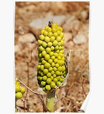 Dragon Lily seed head, Halki Poster