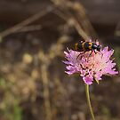 Meloid Beetle  by jean-louis bouzou