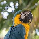 """Alexis"" Blue and Gold Hyacinth Macaw by CarolColaianni"