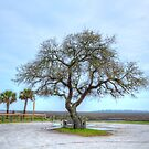 Inlet Oak by Kathy Baccari