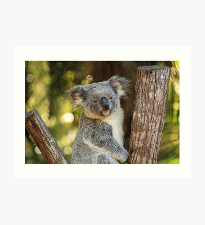Portrait of a Koala Art Print