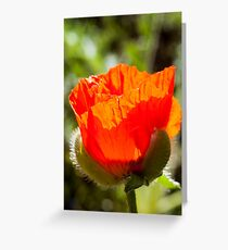 young poppy catching the sun Greeting Card