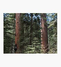 Forest Giants Photographic Print