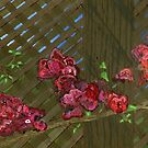 Early Spring, Late Afternoon Bougainvillea Bloom by bernzweig