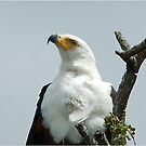 UP CLOSE - AFRICAN FISH EAGLE - Haliaeetus vocifer -Visarend by Magriet Meintjes