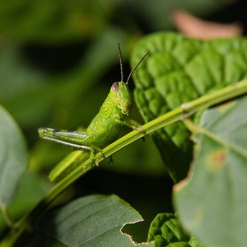 Grasshopper Pillow by RDography