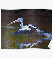 Australian Pelican Poster