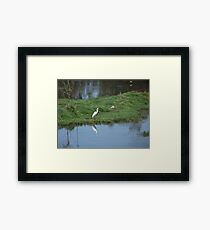 Great white egret reflected in water Framed Print