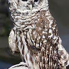 Barred Owl by Nancy Richard