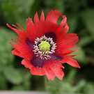 First Poppy by Janone
