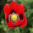 Poppy c by Janone
