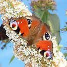 Butterfly close up by CiaoBella