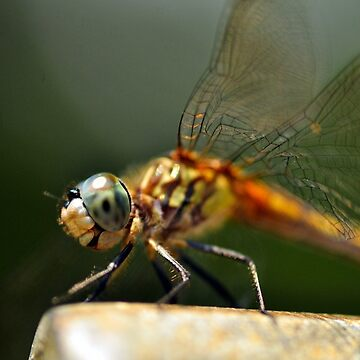 Yes, I Love Dragonflies by fotokmcc