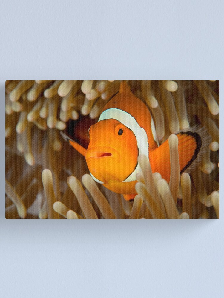 Alternate view of False Clown Anemonefish - Amphiprion ocellaris Canvas Print