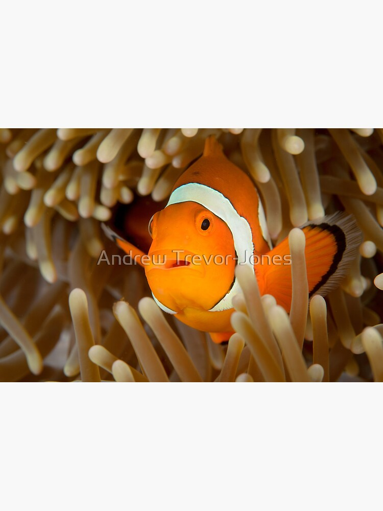 False Clown Anemonefish - Amphiprion ocellaris by andrewtj