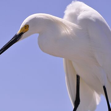 Snowy Egret, As Is.............Elvis? by fotokmcc