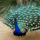 Beautiful Photograph of a Peacock by Patricia Barmatz