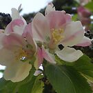 Apple Blossom Time by Jacki Stokes